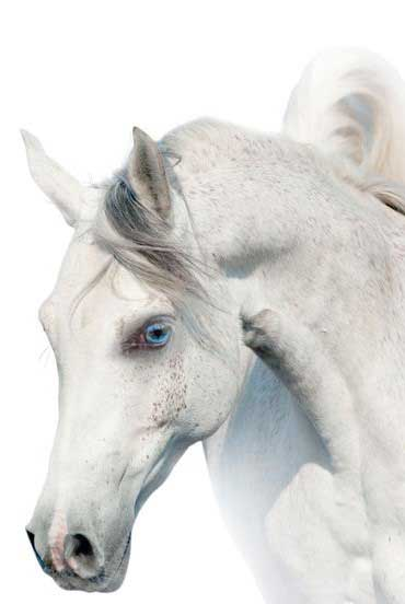 Pferdekopf eines Schimmels