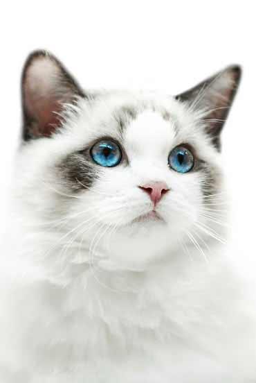 Kopf einer weißen Katze